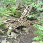 Birch and cedar roots